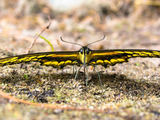 Giant Swallowtail Butterfly - Roseneath, ON