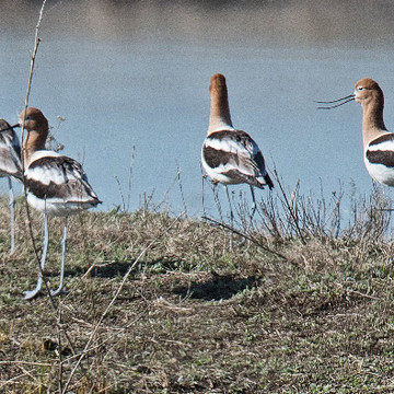american avocet in a row