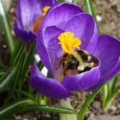 Busy bee in a crocus ...