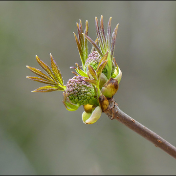 Spring buds, Elliot Lake.