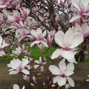 Magnolias by the River, Cambridge ,ON