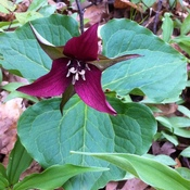 It's Trillium season in southern Ontario