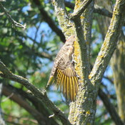 Northern Flicker Preening