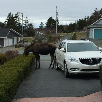 Moose at Richmond Hill, St. John's