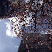 Cherry Blossoms Over Town