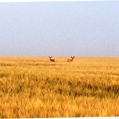 Mule deer in a grain field