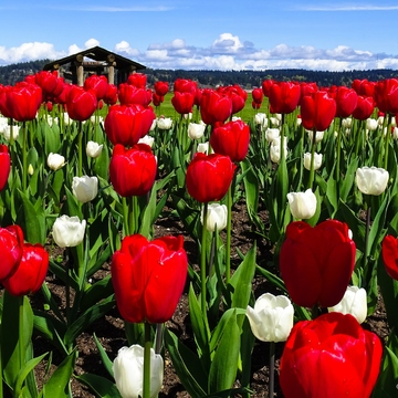 Red & White Tulips in Bloom
