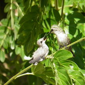 Mother Hummingbird feeding its Young
