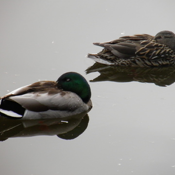Mallards settled for the night
