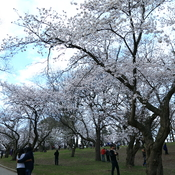 Cherry Blossom at High Park