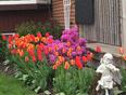 Tulips - Brampton, ON | L6V 1V6