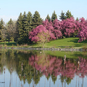 Loafers Lake Cherry blossom