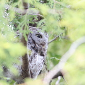 Screech Owl in my back yard