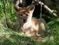 Coyote pups.