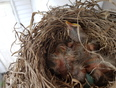 baby robins - Innisfil, ON