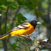Oriole de Baltimore.