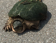 Snapping turtle crossing the road - Milton, ON, CA