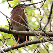 Green Heron resting on a tree branch