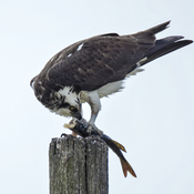 Osprey enjoying a fish