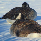 Winter Geese