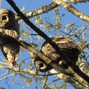 Two Barred Owl