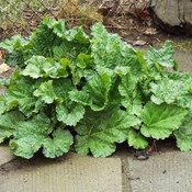 rhubarb plants grows over night