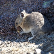 Rocky Mountain Pika sometimes called a Rock Rabbit