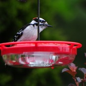 Downy Woodpecker (M)