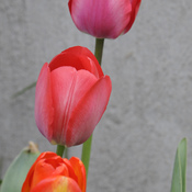 Colourful Tulip Trio