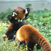 cute baby red panda's playing