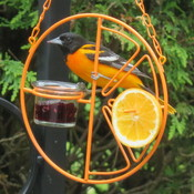 instantaneous oriole
