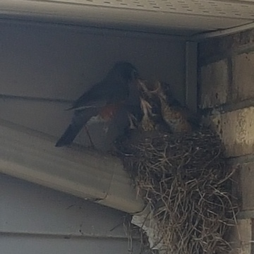 Mother Robin feeding her young