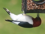 Red Headed Woopecker - Courtland, ON N0J 1E0,