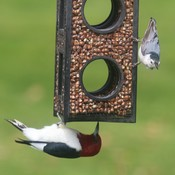 Red Headed Woodpecker and the Nuthatch!!
