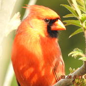 Cardinal Watching in Cobourg