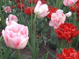Tulips in Ottawa - Ottawa, ON