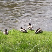 """Chilling Out"" by the Speed River in Guelph,on"