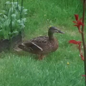 duck visiting my frount yard