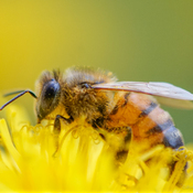 Dandelions and Bees - a closer look