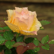 Mother's Day miniature rose