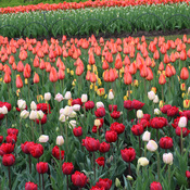 Colors of Ottawa Tulips