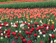 Colors of Ottawa Tulips - Ottawa, ON