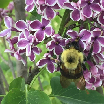 Bumble Bee on my Lilacs