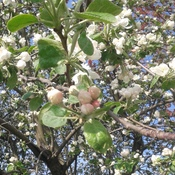 Apple Trees in full bloom