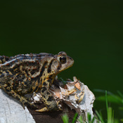 Toad on Log