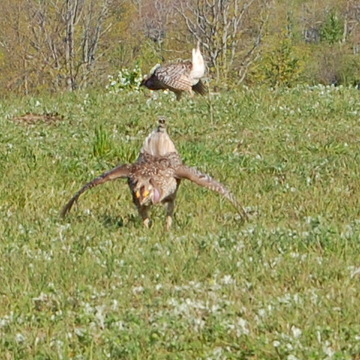 Hungarian Partridge Mating Season