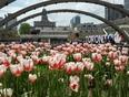 Canada150 Tulips