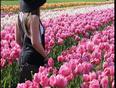 Tulip festival  - Abbotsford, BC, CA