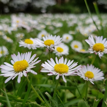 Happy daisies in the spring