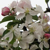 Apple Blossom time in the Valley
